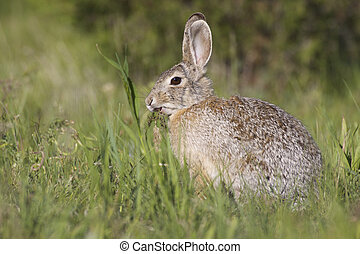 Cottontail Rabbit in Grass - a cottontail rabbit eating...