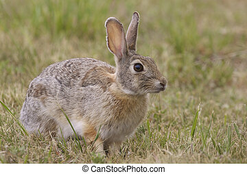 Cottontail Rabbit - a cute cottontail rabbit sitting in a...