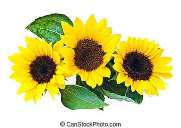 Sunflowers, isolated on a white background