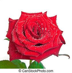 gouttes rosée, rose
