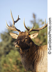 Bull Elk Bugling - a close up of a bugling bull elk