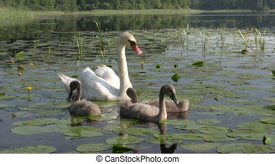 Femail swans with cygnets - Family of swans - femail parent...