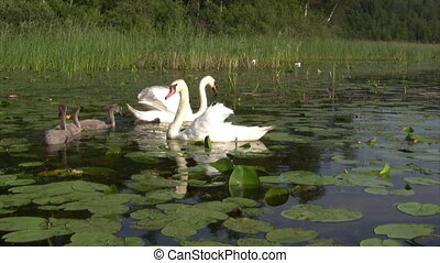 Swan swimming with signets - Swans and signets swimming...