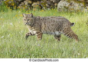 Bobcat in deep green grass