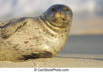 Endangered Harbor Seal on tan sand beach in La Jolla...