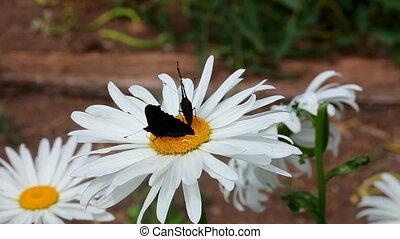 Peacock butterflies.