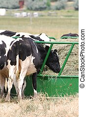 Dairy Cattle - Holstein dairy cattle grazing out of a round...