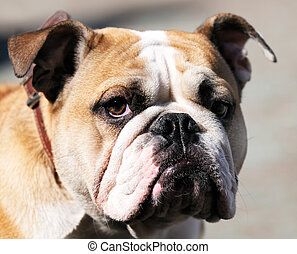Bulldog portrait - Thoroughbred Bulldog outdoor portrait...