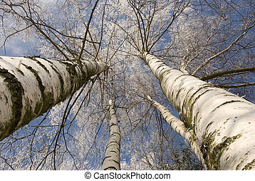 winter birches in white rime on sky background horizontal...