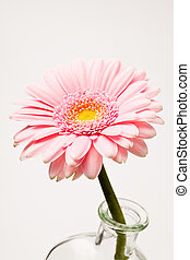 Gerbera flower. Studio shot of a beautiful fresh gerbera in...