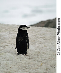 Chinstrap penguin 7