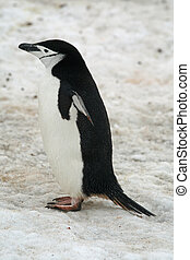 Chinstrap penguin 10