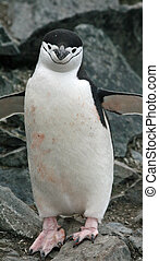 Chinstrap penguin 11