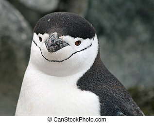 Chinstrap penguin 15