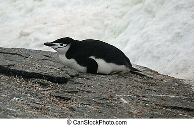 Chinstrap penguin 16