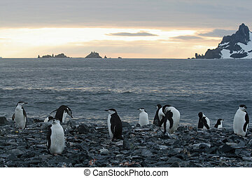 Chinstrap penguins on beach - Chinstrap penguins on a beach