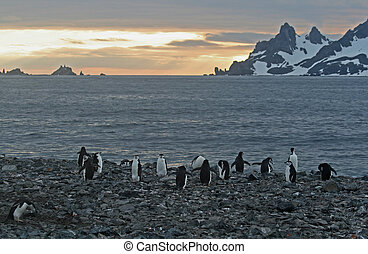Chinstrap penguins 2