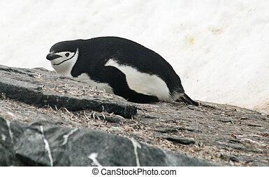 Chinstrap penguin 28 - Chinstrap penguin