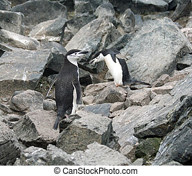 Chinstrap penguin 30 - Chinstrap penguin