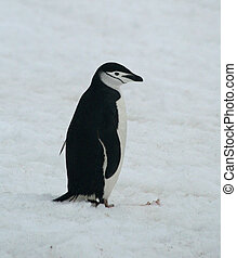 Chinstrap penguin 34 - Chinstrap penguin