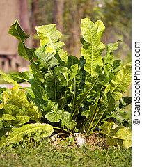 Plant of horse radish
