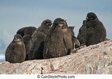 Adelie Penguin chicks