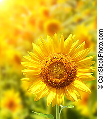 Sunflowers - Yellow sunflowers and bright sun