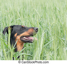 dog sitting in the wheat field - a doberman dog sitting in...
