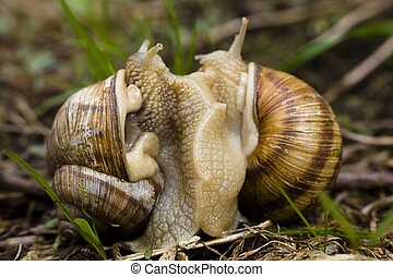 Mating snails - Two snails mating