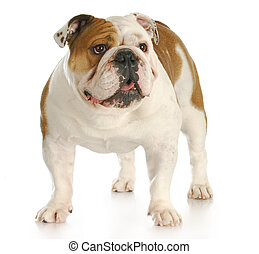 english bulldog standing looking up with reflection on white...
