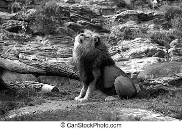 Lion - A black and white picture of a lion sitting in the...