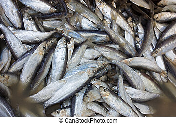 sardines in brine - traditional preparation of mediterranean...