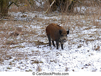 Wild boar is looking for some food - but it is hidden in a...