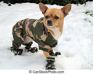 Chihuahua camouflaged in the snow
