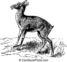Old engraving of a Siberian musk deer or moschus moschiferus...