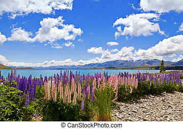Lupin Flowers - Field of lupin wildflowers on the shore of...