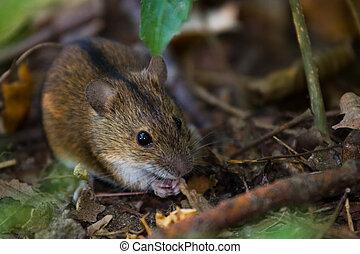 Striped field mouse among sticks having breakfast in...
