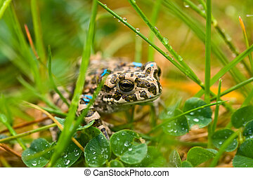 Young wet toad hiding in the wet grass