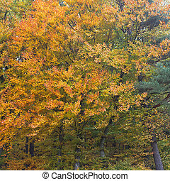 Golden Deciduous Forest - Golden peak of fall colored...