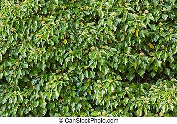 Blooming Common Ivy Background - Blooming Common Ivy (Hedera...
