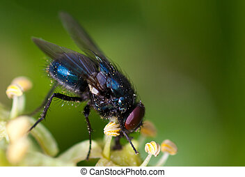 Common house fly (Musca Domestica) on Ivy Flowers - Common...