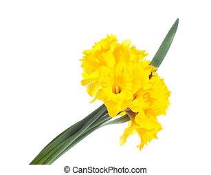 daffodis