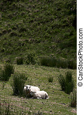 Sheep with Lamb - A Sheep with Lamb cuddling up together