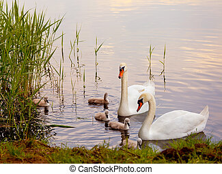 Swans with nestlings at sunset on the kake