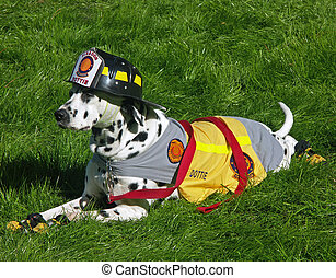 Dalmation dog dressed as a fire department mascot - A...