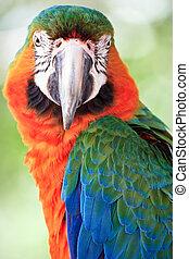 macaw - portrait of macaw