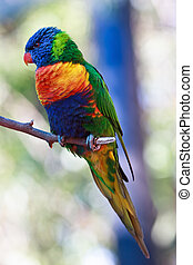 rainbow lorikeet - raibow lorikeet on branch