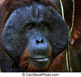 The adult male of the Orangutan. - Portrait of the adult...