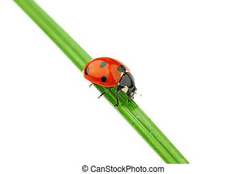 ladybug on grass isolated macro