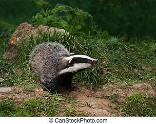Badger Cub watching
